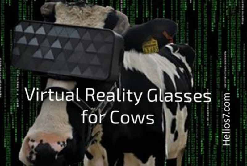 virtual reality glasses for cows