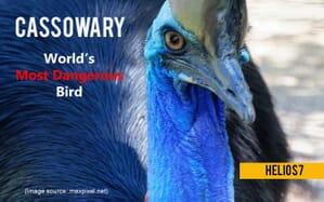 cassowary most dangerous bird
